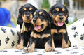 three puppies - PhotoDune Item for Sale