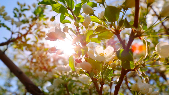 Sun Shining Through Blossom Apple Tree