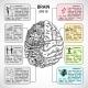 Brain Hemispheres Sketch Infographic - GraphicRiver Item for Sale