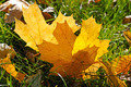 yellow maple leaves on green grass in autumn - PhotoDune Item for Sale