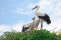 storks in the nest - PhotoDune Item for Sale