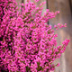 Pink heather - PhotoDune Item for Sale