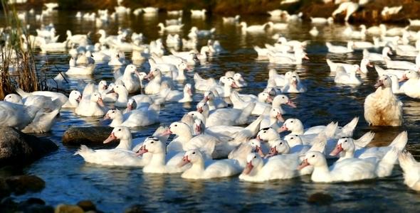 Ducks in River Miniature Effect