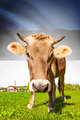 Cow with flag on background series - Estonia - PhotoDune Item for Sale