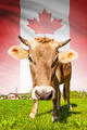 Cow with flag on background series - Canada - PhotoDune Item for Sale