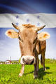 Cow with flag on background series - Honduras - PhotoDune Item for Sale