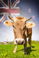 Cow with flag on background series - New Zealand - PhotoDune Item for Sale