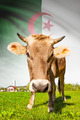 Cow with flag on background series - Algeria - PhotoDune Item for Sale