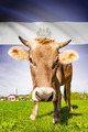 Cow with flag on background series - El Salvador - PhotoDune Item for Sale