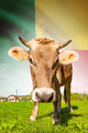 Cow with flag on background series - Benin - PhotoDune Item for Sale