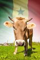 Cow with flag on background series - Senegal - PhotoDune Item for Sale