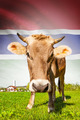 Cow with flag on background series - Gambia - PhotoDune Item for Sale