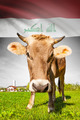 Cow with flag on background series - Iraq - PhotoDune Item for Sale