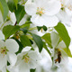 Bee Pollination And Apple Tree Flowers - VideoHive Item for Sale