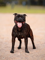 Staffordshire Bull Terrier - PhotoDune Item for Sale