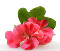 Geranium Pelargonium Flowers - PhotoDune Item for Sale