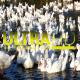 Ducks in River 8 - VideoHive Item for Sale