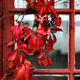 Climbing plant with red leaves - PhotoDune Item for Sale