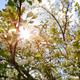 Sun Shining Through Blossom Apple Tree - VideoHive Item for Sale