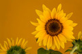Yellow sunflower on orange background - PhotoDune Item for Sale