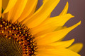 Nice sunflower on a purple background - PhotoDune Item for Sale
