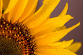 Nice sunflower with rain drops - PhotoDune Item for Sale