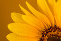 Approaching a sunflower on a brown background - PhotoDune Item for Sale