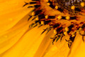 Close up to a yellow sunflower - PhotoDune Item for Sale