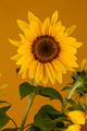 Yellow sunflower - PhotoDune Item for Sale