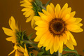 Beautiful sunflowers - PhotoDune Item for Sale
