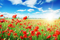 poppies field in rays sun - PhotoDune Item for Sale