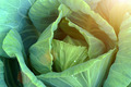 close-up of fresh cabbage in the vegetable garden - PhotoDune Item for Sale