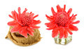 Tropical flower of red torch ginger. - PhotoDune Item for Sale
