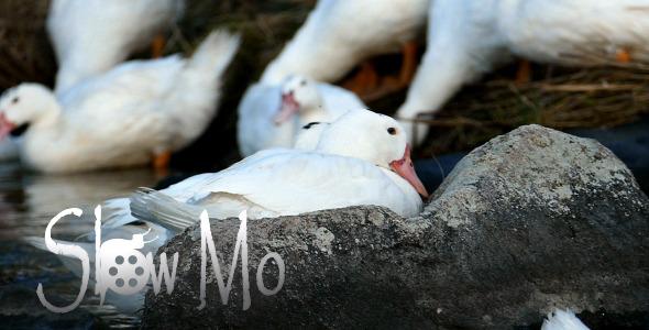 Ducks in River 6