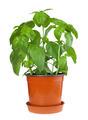 Basil plant in pot - PhotoDune Item for Sale