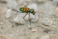 Tiger beetle - Cosmodela aurulenta close up - PhotoDune Item for Sale