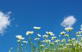 White camomiles - PhotoDune Item for Sale
