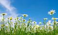 white daisies - PhotoDune Item for Sale