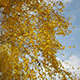 Autumn Leaves And Blue Sky  - VideoHive Item for Sale