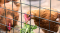 Hen feeding - PhotoDune Item for Sale