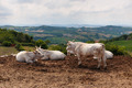 Herd of cows on the background of the hilly landscape in Tuscany - PhotoDune Item for Sale