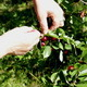 Harvesting Sour Cherries 2 - VideoHive Item for Sale