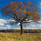 Maple Tree In Autumn - VideoHive Item for Sale