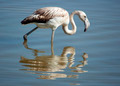 Phoenicopterus ruber,  young flamingo, in natural enivironment, - PhotoDune Item for Sale