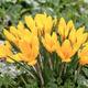 Crocus blooming in the meadow. Small Depth of Field (DOF) - PhotoDune Item for Sale