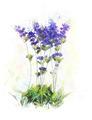 Watercolor Image Of  Lavender Flowers - PhotoDune Item for Sale
