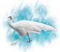 Watercolor Image Of  White Peacock - PhotoDune Item for Sale