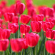 Field Of Red Tulips Blooming - VideoHive Item for Sale