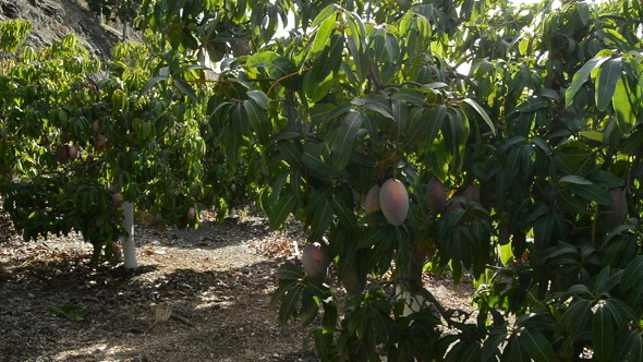 Collecting Mango Fruit in Field
