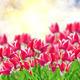tulip flowers - PhotoDune Item for Sale